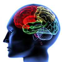 research papers brain The function of the human brain by theresa higgins dr michael anatomy & physiology hs120 december 14, 2008 the function of the human cerebellum.