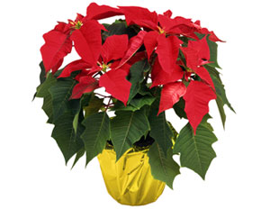 Christmas Poinsettia Plants fundraising drive